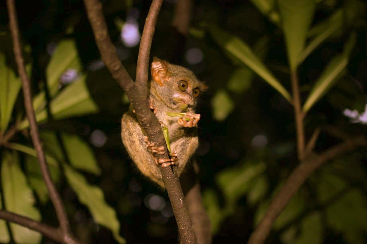 Tassier Sulawesi